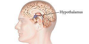 hypothalamus à protéger