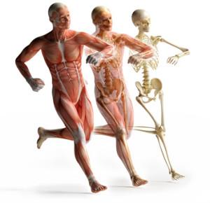 Squellette, muscles et protéines...